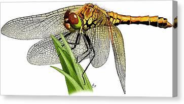 Western Meadowhawk Dragonfly Canvas Print