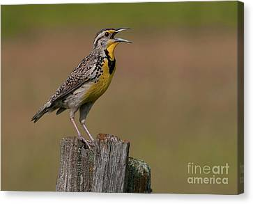 Meadowlark Canvas Print - Western Meadowlark.. by Nina Stavlund