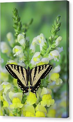Tiger Swallowtail Canvas Print - Western Tiger Swallowtail Butterfly by Darrell Gulin