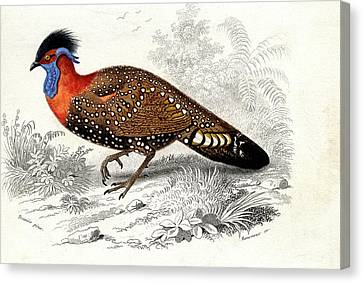 Western Tragopan Canvas Print by Collection Abecasis