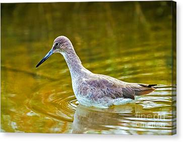 Western Willet Wading In Water Canvas Print