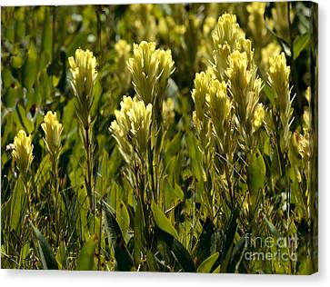 Haybales Canvas Print - Western Yellow Paintbrush by Robert Bales