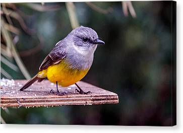 Western Yellow Robin Canvas Print