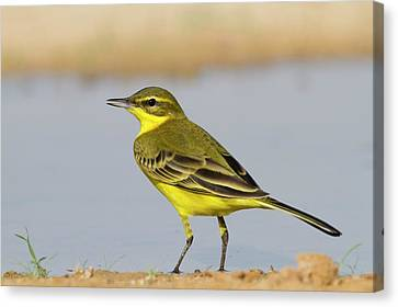 Western Yellow Wagtail (motacilla Flava) Canvas Print by Photostock-israel