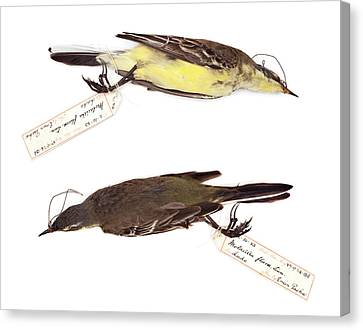 Western Yellow Wagtail Canvas Print