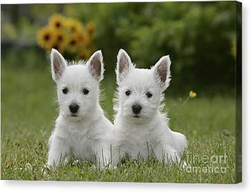 Westie Puppies Canvas Print by Rolf Kopfle