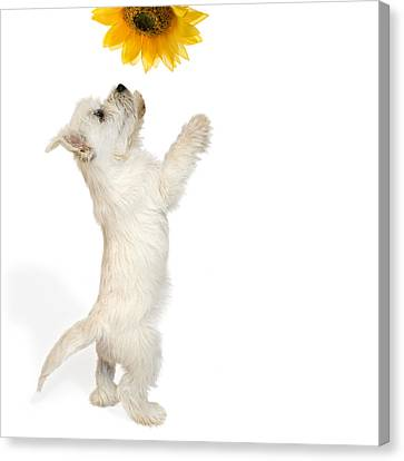 Westie Puppy And Sunflower Canvas Print by Natalie Kinnear