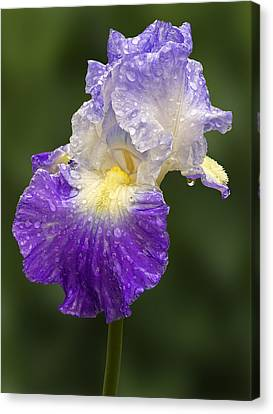 Water Drops Canvas Print - Wet Bearded Iris by Susan Candelario