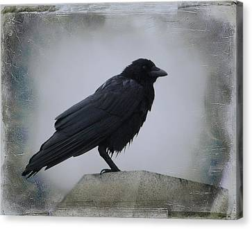 Lone Wet Blackbird Canvas Print