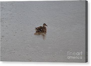 Wet Duck Canvas Print