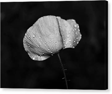 Wet Poppy  Canvas Print
