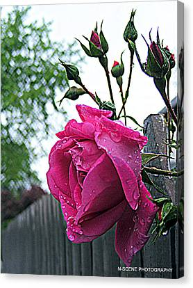 Wet Rose In Fence Canvas Print