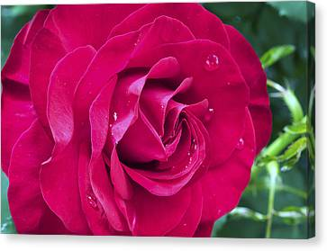 Wet Rose Canvas Print by Kenneth Feliciano