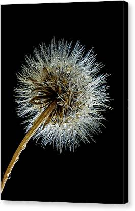 Wet Weed Canvas Print by Jean Noren