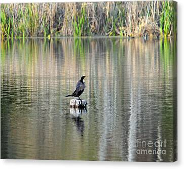 Phalacrocorax Auritus Canvas Print - Wet Wings by Al Powell Photography USA