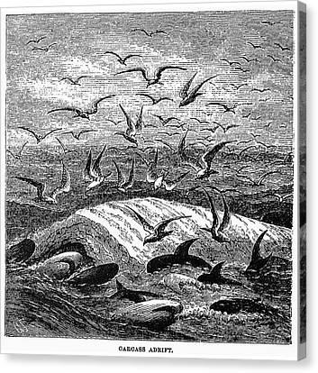 Whale Carcass Adrift, 1874 Canvas Print by Granger