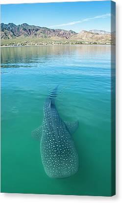 Whale Shark Canvas Print by Christopher Swann
