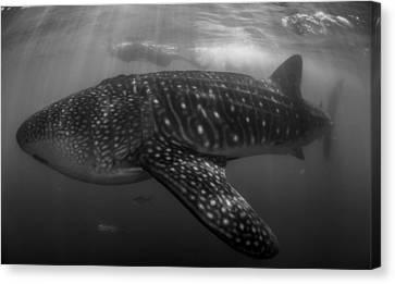 Whale Shark  Canvas Print by Ryan Wilson