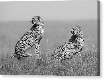 Cheetah Canvas Print - What's Going On Here Around? by Marco Pozzi