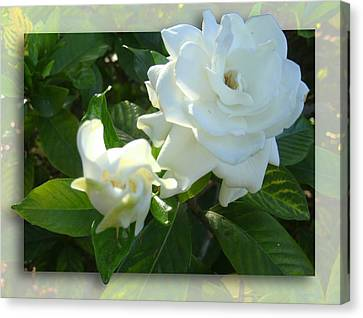 Whats So Special About White Flowers Canvas Print by Ginny Schmidt