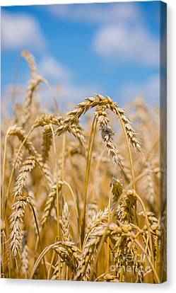 Wheat Canvas Print by Cheryl Baxter