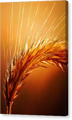 Wheat Close-up Canvas Print by Johan Swanepoel