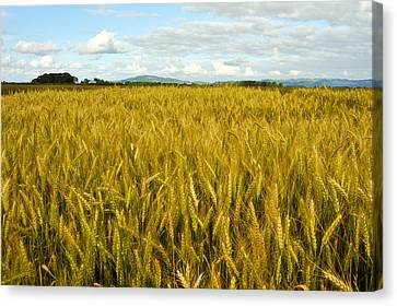 Wheat Field Canvas Print by Crystal Hoeveler
