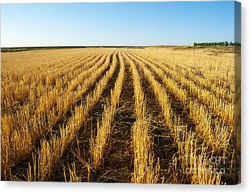 Wheat Field Canvas Print by Juli Scalzi