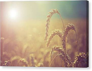 Close Focus Nature Scene Canvas Print - Wheat Growing In The Sunlight by Wladimir Bulgar