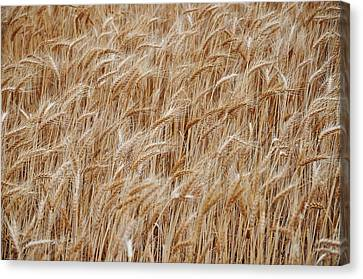 Wheat Harvest Canvas Print by Phill Petrovic