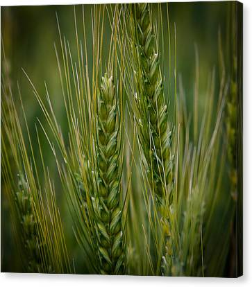 Wheat In The Palouse Canvas Print by David Patterson
