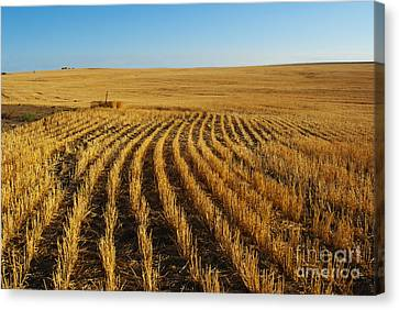 Wheat Rows Canvas Print by Juli Scalzi