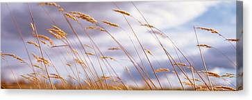 Wheat Stalks Blowing, Crops, Field Canvas Print by Panoramic Images