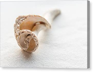 Whelk Shell New Jersey Beach Canvas Print by Terry DeLuco