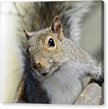 Where Are The Nuts Canvas Print by Susan Leggett