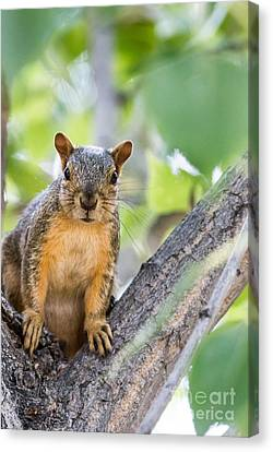 Fox Squirrel Canvas Print - Where Is My Peanut by Robert Bales