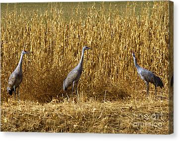 Cornfield Canvas Print - Where Is The Corn by Mike  Dawson