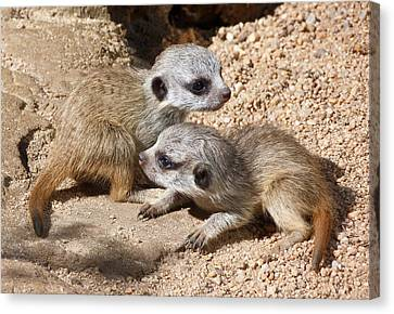 Which Way Now - Baby Meerkats Canvas Print by Margaret Saheed