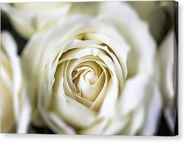 White Flower Canvas Print - Whie Rose Softly by Garry Gay