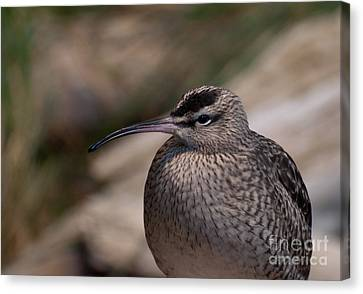 Canvas Print featuring the photograph Whimbrel by Bianca Nadeau