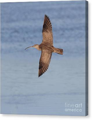 Whimbrel In Flight Canvas Print by Ruth Jolly