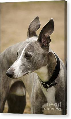 Sight Hound Canvas Print - Whippet by Linsey Williams