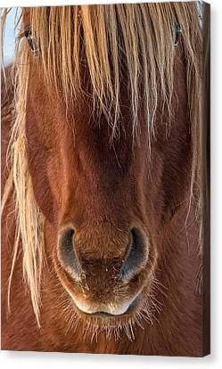 Forelock Canvas Print - Whiskers by Sandy Sisti