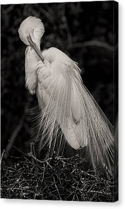 Egret Canvas Print - Whispy And Delicate by Deborah Benoit