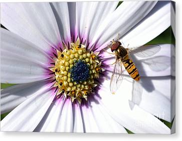 Canvas Print featuring the photograph White African Daisy Marmalade Fly by Scott Lyons