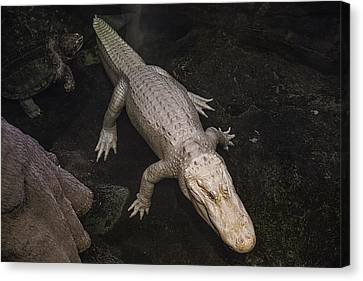 White Alligator Canvas Print by Garry Gay