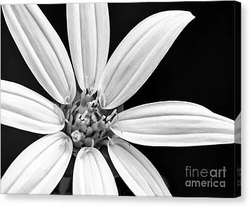 White And Black Flower Close Up Canvas Print by Sabrina L Ryan