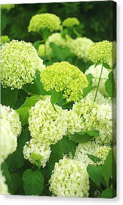 Canvas Print featuring the photograph White And Green Hydrangea Flowers by Suzanne Powers