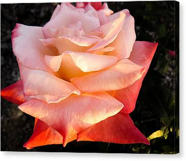 White And Peach Canvas Print by Zina Stromberg