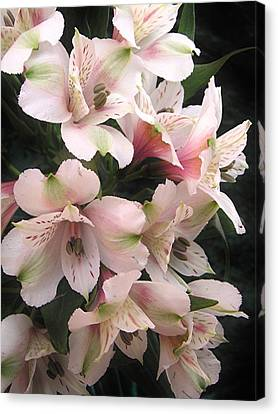 Canvas Print featuring the photograph White And Pink Peruvian Lilies by Diane Alexander